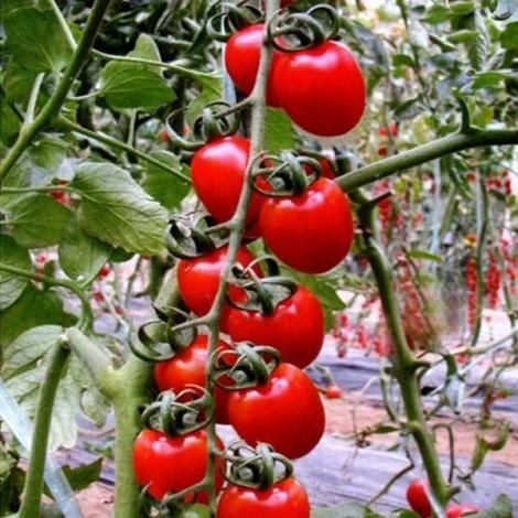 30pcs British Cherries Tomato Seeds Garden Plants Red