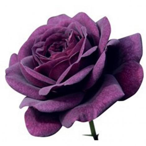 20pcs Netherlands Imported Rose Flower Seeds Purple
