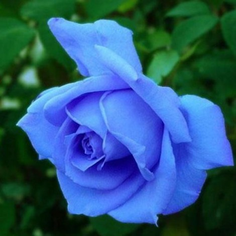 50pcs Netherlands Imported Bluelover Rose Flower Seeds Light Blue